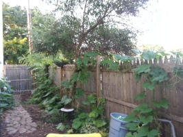 Pumpkins scaling the fence